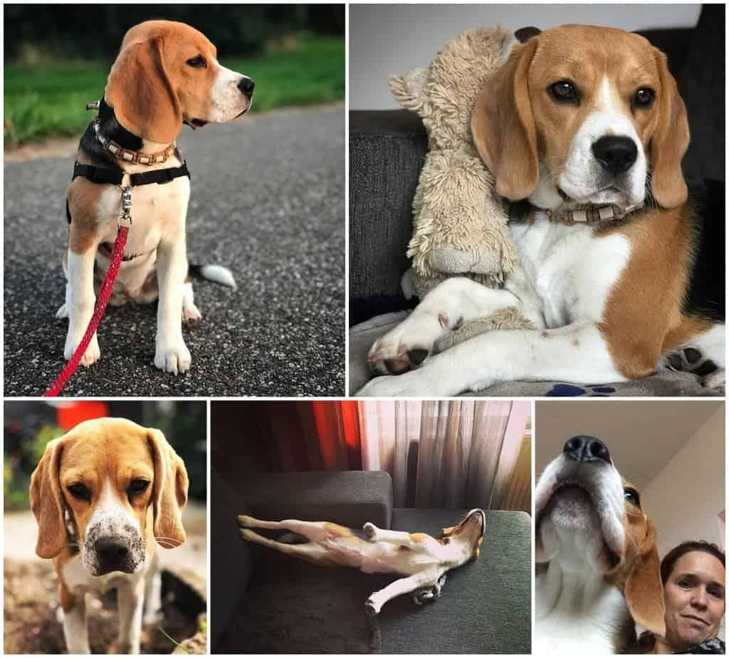 Bobbi de beagle nu één jaar oud