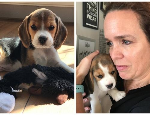 Bobbi de beagle één jaar oud