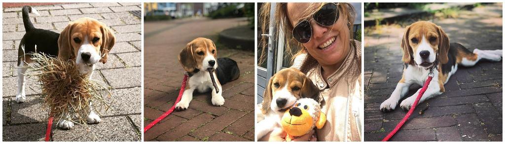 De eerste weken van Bobbi de beagle